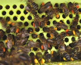 polline4